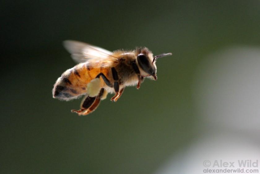 Bee arrives