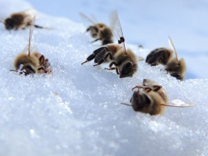 bees-on-snow